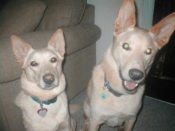 Rick and Annie the Carolina Dogs are sitting next to one another in front of a tan couch and in front of a fireplace