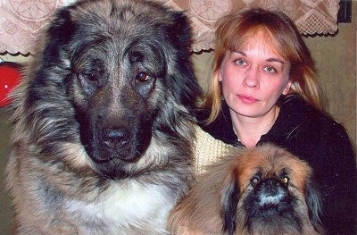 A Caucasian Ovtcharka is sitting next to its owner. It is also sitting next to a Pekingese Dog