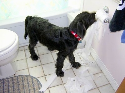 Dexter, the Labradoodle puppy, caught in the act of chewing up the toilet paper!  :)