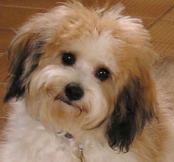 Close Up - Cavachon with its head tilted to the right