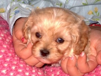 Close Up - A Cavapoo Puppy is in the lap of a person on a pink and white crocheted blanket. The person is petting its face