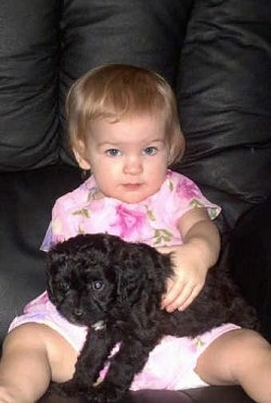 A Cavapoo puppy is laying in the lap of a child who is wearing a pink dress with flowers on it, on a black leather couch