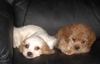 Two Cavapoo Puppies are laying on a black leather couch together