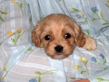 A Cavapoo puppy is being held in the arms of a person