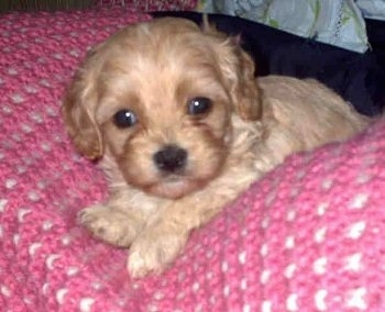 King charles x poodle for sale