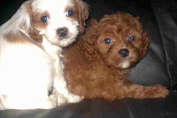 Close Up - Two Cavapoo Puppies are laying on top of each other on a black leather couch