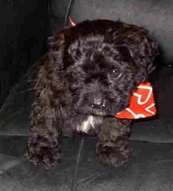 A black Cavapoo puppy is wearing a red bandana and sitting on a black leather couch