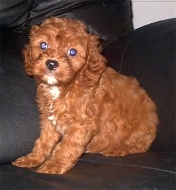 A Cavapoo Puppy is sitting on a black leather couch