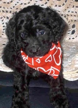 A black Cavapoo puppy wearing a red bandana with white hearts on  it is sitting on a couch and there is a crocheted couch blanket