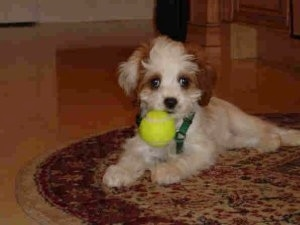 A Cavapoo Puppy is laying on a rug. It has a green tennis ball in its mouth