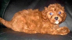 A Cavapoo Puppy is laying on a black leather couch