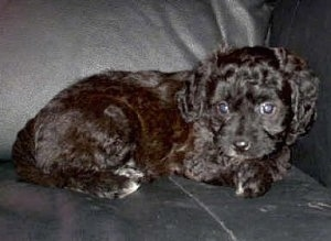 A black Cavapoo Puppy is laying against the arm of a black leather couch