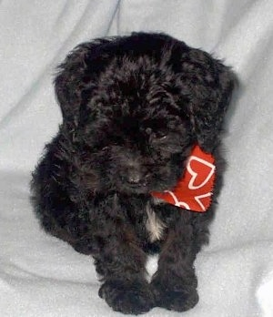 A black cavapoo Puppy wearing a red bandana with white hearts on it around its neck