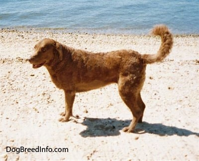 Val the Chesapeake Bay Retriever is standing near a body of water at a beach looking happy