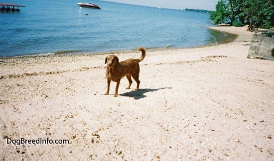Val the Chesapeake Bay Retriever is standing beachside with water and a boat in the background