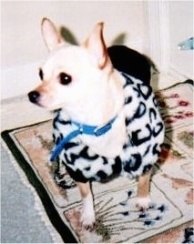 Lilybell the white and tan Chihuahua is wearing a cow print sweater. Lilybell is sitting on a rug and looking to the left