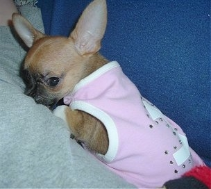 Lilly the tan and black large eared Chihuahua puppy is wearing a pink shirt with rhinestones on the back while laying on a persons leg