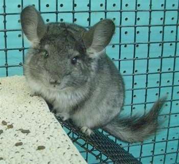 A Chinchilla is climbing up a metal ramp looking forward.