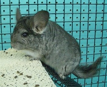 A Standard Grey Chinchilla is climbing up a metal ramp inside of its cage.