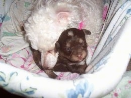 Oreo the Chi-Poo puppy is laying in a dog bed with her white toy poodle mother snuggling up to her