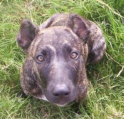 Top down view of a black brindle with tan and white Cimarron Uruguayo dog that is sitting in grass and looking up. The dog's ears are cropped.