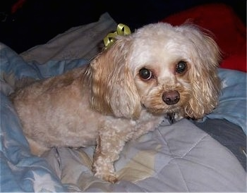 Buffy the tan Cockapoo is laying on a blanket on top of a person while wearing a yellow ribbon behind her ear.