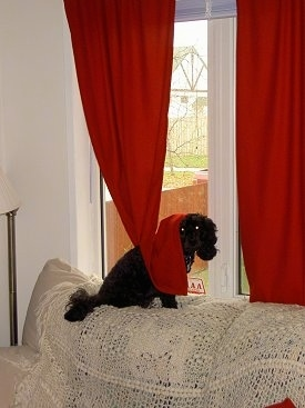 Ebony the black Cockapoo is sitting on the back of a tan couch in front of a window with a red curtain draped over her back