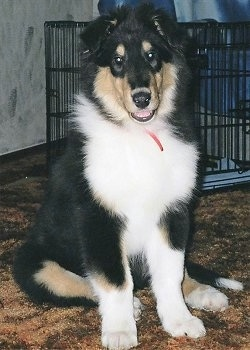 Luke the black, tan and white tricolor Rough Collie puppy is sitting on a carpet and there is a dog crate behind it