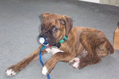 A brown brindle with white Boxer puppy is laying on a carpet and there is a pacifier in its mouth