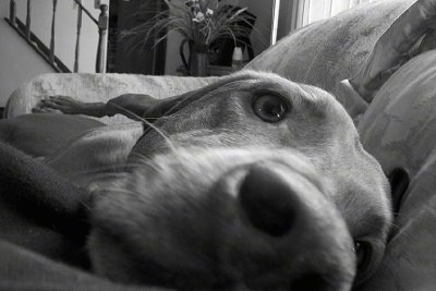 Close Up with the focal point on the nose - A dog is laying on a couch in front of a pillow