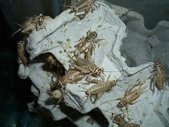 Live crickets are a bearded dragons favorite food.