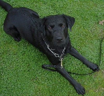 A Wet Cyrus the black Lab is laying in a green lawn