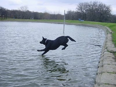 Cyrus the Black Lab is running into a small body of water