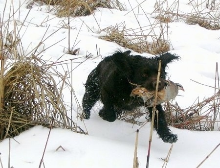 Kaiser the Deutscher Wachtelhund is running through a snowy field with a dead animal in its mouth