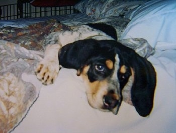 Close Up - Bluetick Coonhound Puppy laying on a human's bed