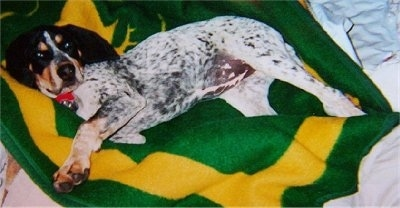 Bluetick Coonhound dog laying on a john deere blanket