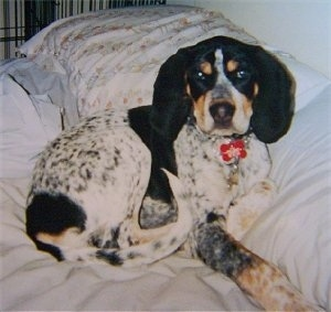 Bluetick Coonhound puppy laying on a human's bed against a pillow