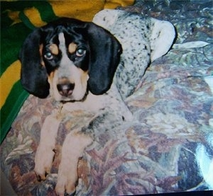 Bluetick Coonhound Puppy laying on a bed