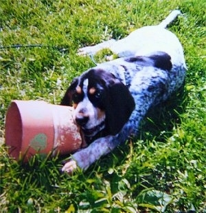 Bluetick Coonhound puppy laying outside and chewing on a flower pot