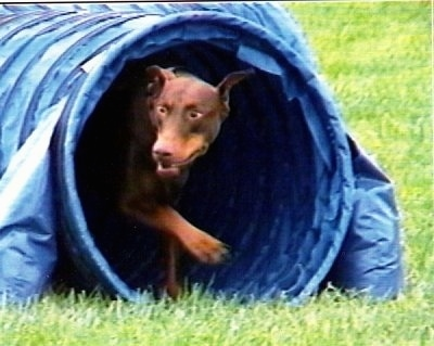 Action shot - Ruby OA, NAJ, CGC the brown and tan Doberman Pinscher is coming out of a blue obstacle tube.