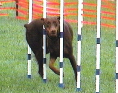 Action shot - Ruby OA, NAJ, CGC the brown and tan Doberman Pinscher is weaving through a series of poles