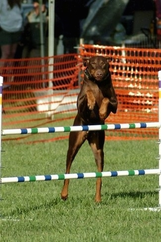 Action shot - Ruby OA, NAJ, CGC the brown and tan Doberman Pinscher is jumping over two bar obstacles
