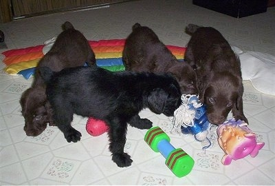 There are four Doodleman Pinscher Puppies that are playing with toys all over a white tiled floor