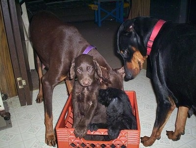 Three Doodleman Pinscher puppies are in a red crate. There are two adult Doberman dogs next to them.