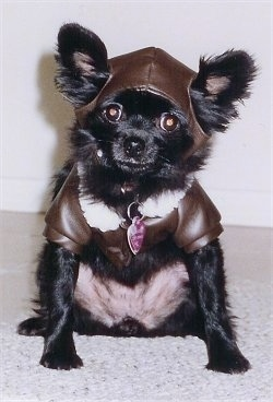 Figgy Pudding the little black Chihuahua is sitting against a wall and wearing a brown leather hat and jacket