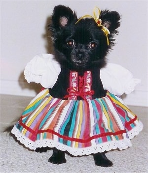 Figgy Pudding the little black Chihuahua is wearing a colorful Irish dance dress