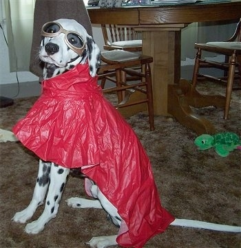 Kelp the Dalmatian is wearing a red raincoat and goggles sitting in a dining room in front of a table and chairs. There is a green plush turtle toy on the floor behind her.