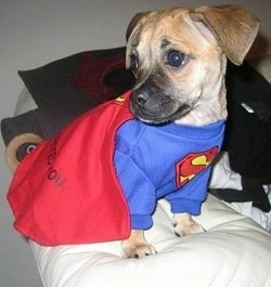 Nibbler the tan and black Puggle puppy is wearing a Superman costume and sitting on a white pillow