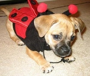 Close Up - Nibbler the tan and black Puggle Puppy is wearing a red and black ladybug costume