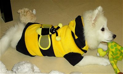 Volley the pure white Japanese Spitz is laying on a carpet and wearing a black and yellow bumblebee costume with a green and yellow dog plush toy between his front paws.
